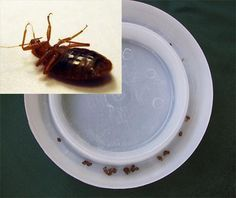 Traps for bed bugs and how to get rid of bed bugs Learn more facts,photo and video info about bed bug treatment