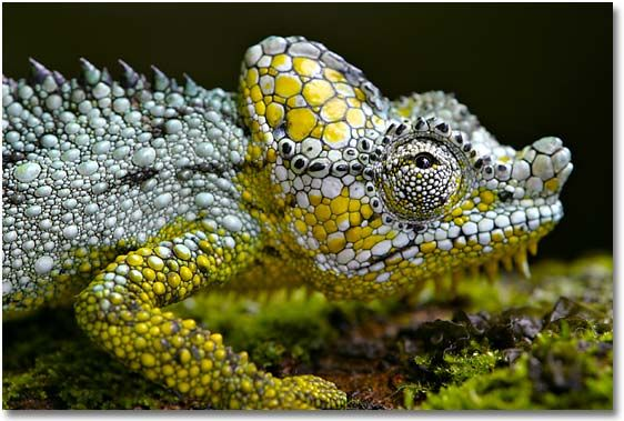 Chameleon camouflaged in gold and silver. #animals #reptiles