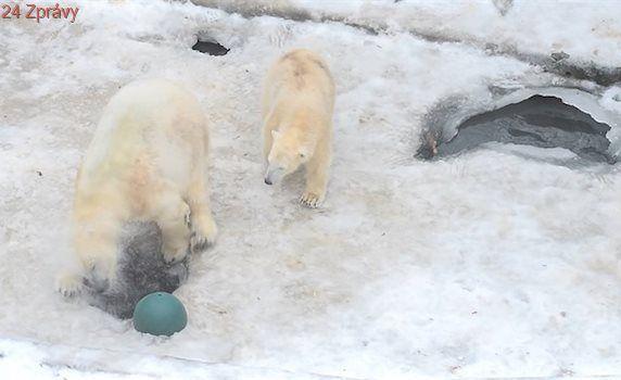 VIDEO: Lední medvědi jsou ve svém živlu, pod vrstvou ledu loví pivní sud