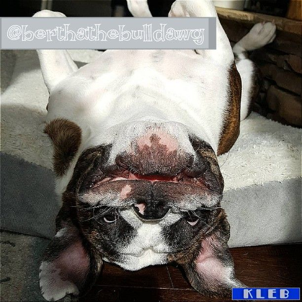 berthathebulldawg  #allenglishbulldogs #theenglishbulldogs #pinterest #family #englishbulldogs https://t.co/ttrBuHlHJt