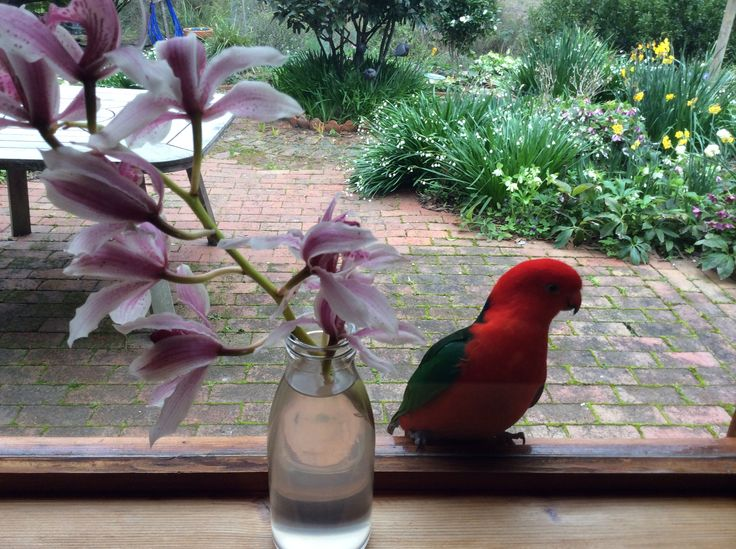 Ever get that feeling you are being watched? King Parrot watching me through the window.