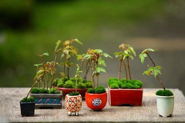 カエデの超ミニ盆栽  チョコレート盆々