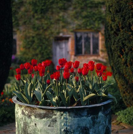 Red tulips growing in a huge copper tub at Sissinghurst, Kent, UK, Where are you Spring? It's snowing in April!!