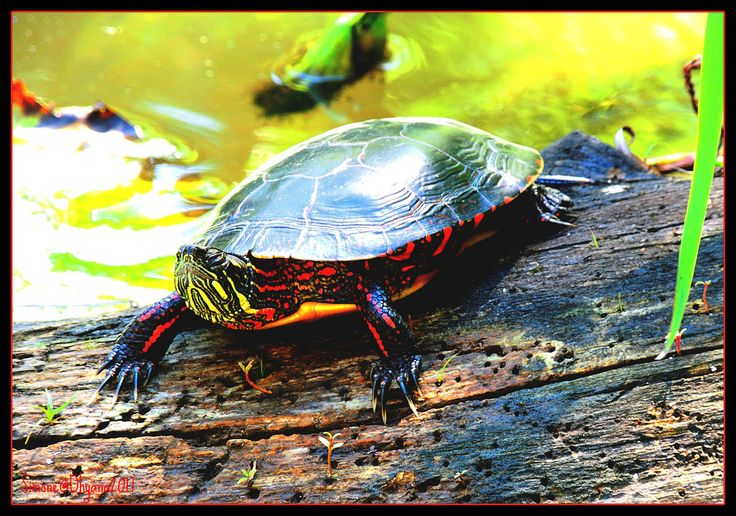 Only time heals wounds posted a photo:  Taking some easy sun for this lovely Turtoise ;)  Painted turtle  From Wikipedia, the free encyclopedia  en.wikipedia.org/wiki/Painted_turtle  The painted turtle (Chrysemys picta) is the most widespread native turtle of North America. It lives in slow-moving fresh waters, from southern Canada to Louisiana and northern Mexico, and from the Atlantic to the Pacific. The turtle is the only species of the genus Chrysemys, which is part of the pond turtle…