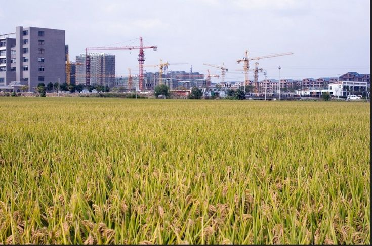 China's State Media Reveals Unapproved Genetically Modified Rice Is on the Market [Rice field in China. Photo by Flickr user Leniners. CC BY-NC 2.0]