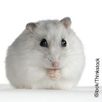 Use these 14 tips to better understand your hamster.