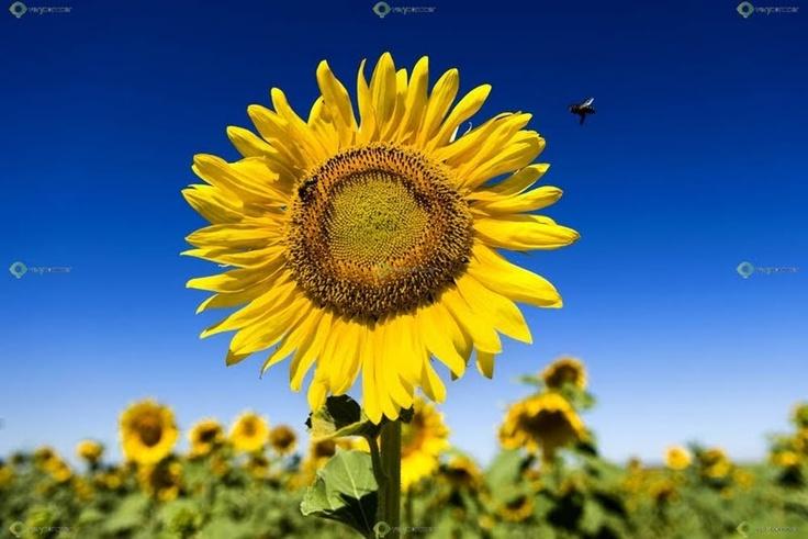 Ver y Conocer Extremadura - Foto - Girasol con abeja (236405)