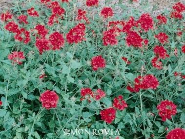 Large, fragrant clusters of bright red flowers top ground hugging stems with attractive toothed foliage. Excellent colorful dense groundcover or foreground plant. Trails over walls or from hanging baskets. Blooms over long period. Perennial.