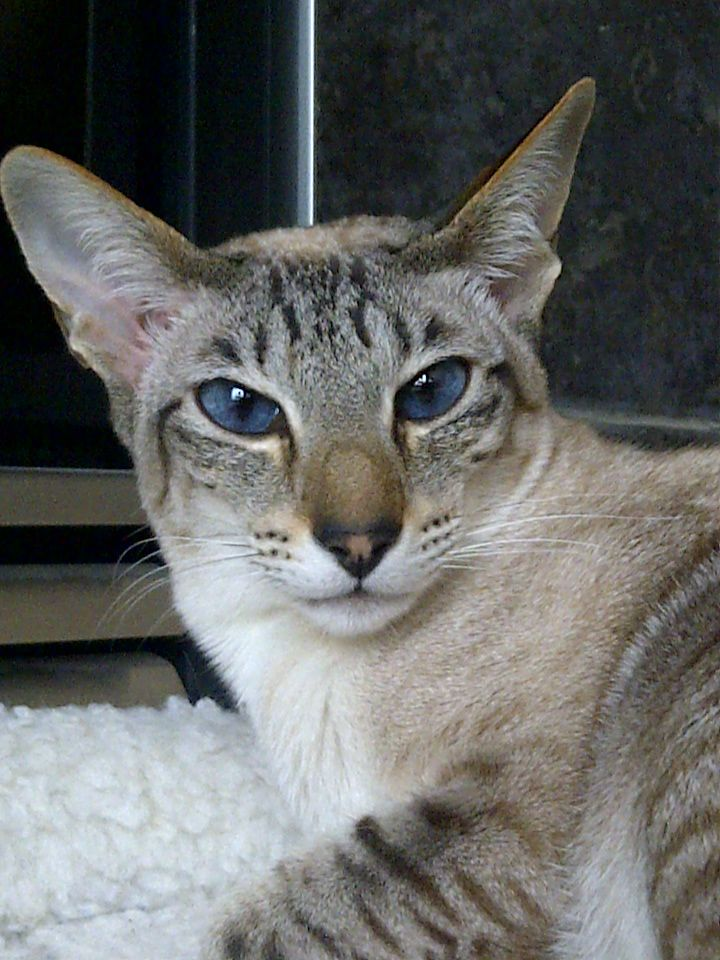 228 best images about LOVE Lynx Point Siamese! on ...