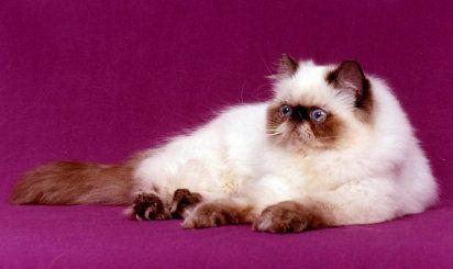 El gato himalayo. Un bello entre los bellos
