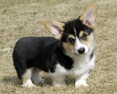 Cardigan Corgi Color Genetics 38