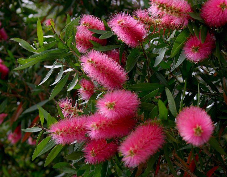 Callistemon salignus pink