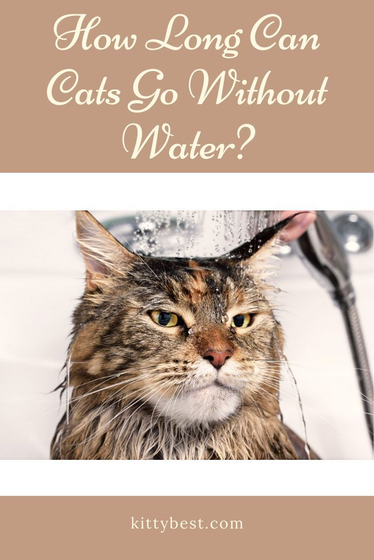 How Long Can Cats Go Without Water Cats Cat Drinking Cat Care