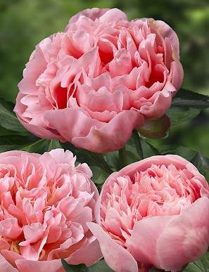 ETCHED SALMON: One of the most perfectly shaped double peony. Flowers are beautiful salmon - pink colored. Flower is nice smelling. Blooms with large flowers with perfect symmetry.