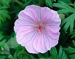 Geranium sanguineum var. striatum striped bloody cranesbill  Garden care: In autumn, rejuvenate plants that are beginning to look jaded by removing old flowered stems and leaves. Lift and divide large colonies in spring.