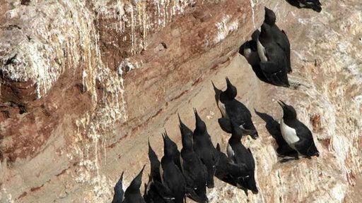 Gedränge auf dem Lummenfelsen: Die noch nicht flüggen Lummenkinder stürzen sich 40 Meter tief hinunter