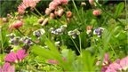 """Grass-free lawn opens in London park:  Mr Smith told BBC News how he devised the lawn and explains that its plants, which include daisies red-flowering clover, thyme, chamomile, pennyroyal and Corsican mint, create a """"pollinator-friendly patchwork"""" - with 25% more insect life than that found in """"traditionally managed grass lawns""""."""