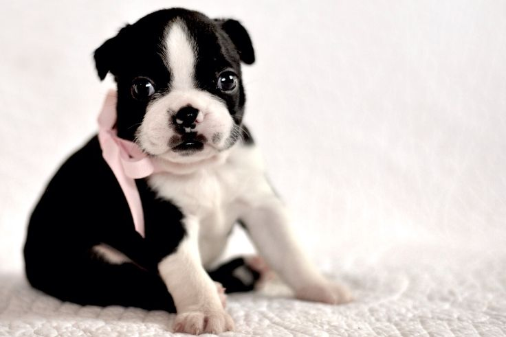 Heart Stealer! 4 week old Boston Terrier