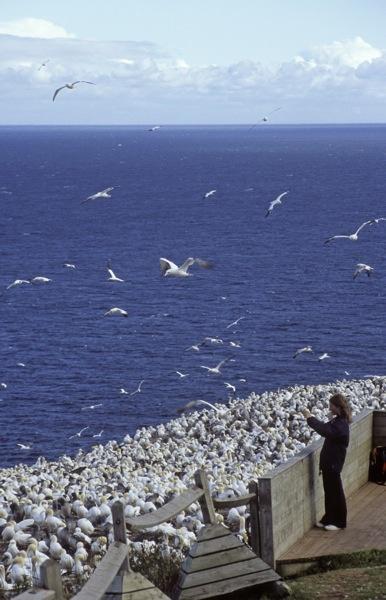 Fous de Bassan, île Bonaventure, Percé. Photo : François Rivard. #Gaspesie