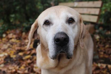 Larry - Labrador Retriever - Male - 6 yrs old - Seattle Humane: The Humane Society for Seattle/King County - Bellevue, WA. - http://www.seattlehumane.org/adoption/dogs - https://www.facebook.com/seattlehumane - http://petango.com/Adopt/Dog-Retriever-Labrador-33778289 - https://www.petfinder.com/petdetail/36738498
