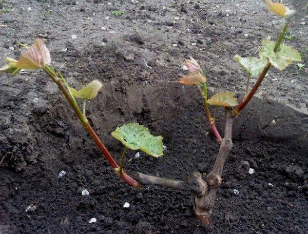 Виноград мягкой посадки - Садовое обозрение