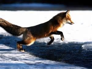 Best 25  Red fox facts ideas on Pinterest | Foxes, Fox facts and Fox