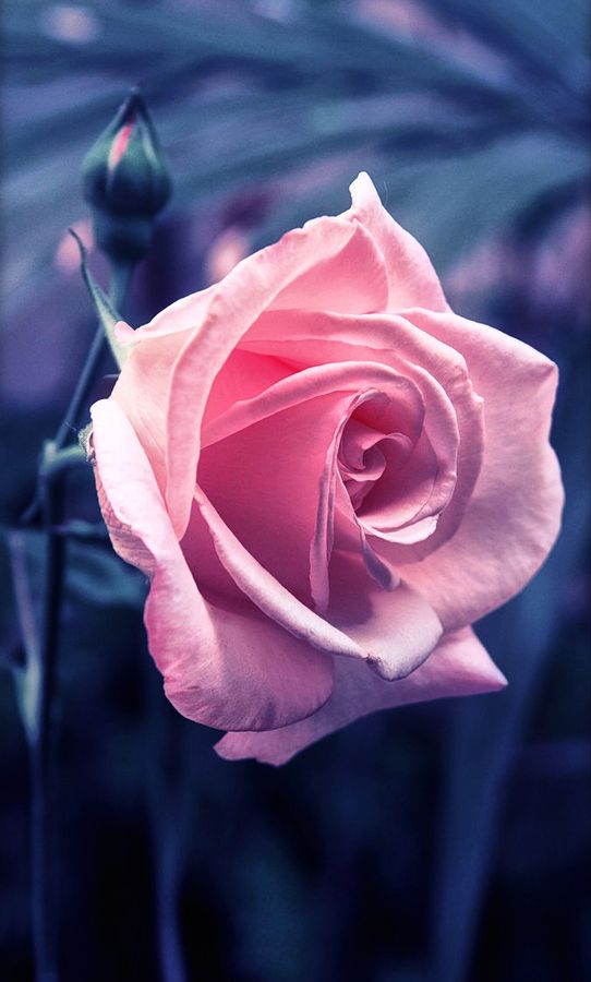 Pink rose - one of my faves