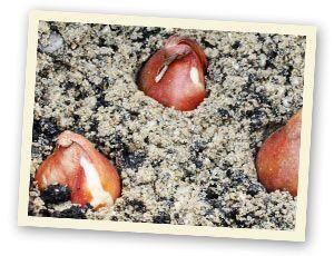 Beim Einkauf von #Blumenzwiebeln (z.B. im Supermarkt) sollte man genau darauf achten, dass die Zwiebeln weder schimmeln noch weich sind. Die trockene Luft / das häufige Anfassen setzen den Zwiebeln sehr zu. Auch bereits ausgetriebene Zwiebeln sollten eher nicht gekauft werden, sie sind schon geschwächt & wachsen schlechter ein.  Zu Hause angekommen sollten die Blumenzwiebeln so schnell wie möglich in die Erde. Ist es nicht möglich sofort einzupflanzen, lagert man die Zwiebeln kühl und…
