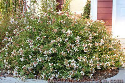 Abelia grandiflora 'Sherwoodii' (shrub)