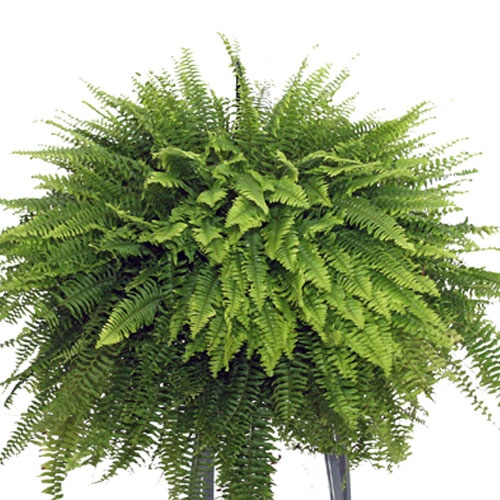 Boston Fern Just Got A Couple Of These For The Porch