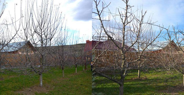 Imagini comparative cu tăieri la un gard fructifer de măr | Paradis Verde