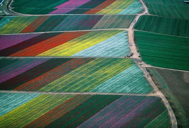 Flower Fields in Carlsbad, California by Alex Maclean: Tulip Fields, Tulipfields, Aerial Photography, Carlsbad California, Flower Fields, Flower Farms, Alex Maclean, Alex O'Loughlin, Cut Flower
