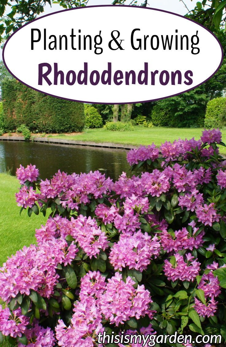 Planting Growing Rhododendrons Add Big Color To Your Landscape