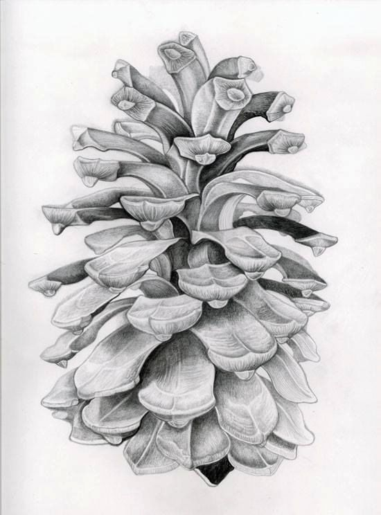 Pine cone drawing//