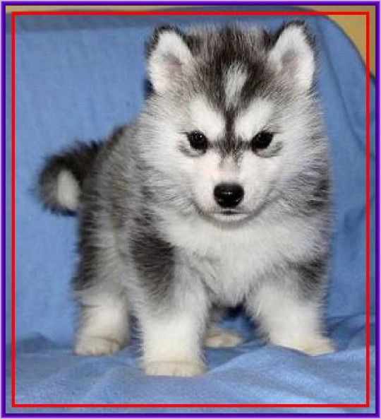 Husky Dog Sale In India