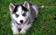 Husky de Sibérie, de l'herbe,