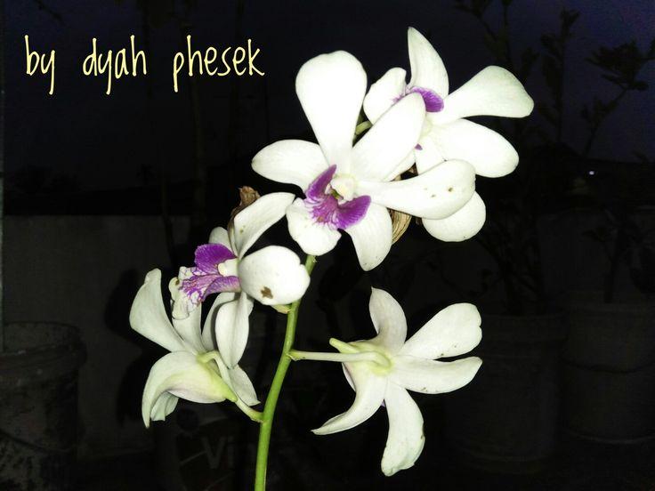 Anggrek Dendrobium