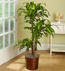 Corn Plant Care Tips - Dracaena fragrans 'Massangeana' (north window)