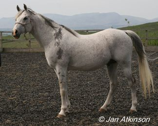 Amirah (Princess Leader) ~ Named after the historical arabian mare:  Amirah is a true pure blooded Arabian of the Abeyan strain. The Bedouins, wanting to stay on the very powerful Britain's good side, offered King Arthur the mare as a gift for his stables. As a rule, war mares carried no price so Amirah was a most honored gift. To Bedouins no greater gift could be given than an Arabian mare, and Amirah was very special as she is a direct descendant of the original bloody shouldered mare.
