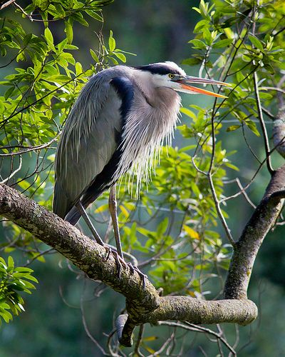 Great Blue Heron, Lake Chabot Regional Park, Castro Valley, CA