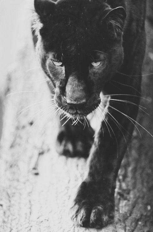 black cat | panther | prowl | animal kingdom | jungle | eyes | paws | stunning | majestic | www.republicofyou.com.au. Bagheera