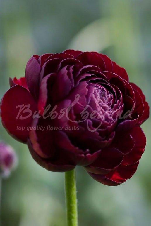 Ranunculus-purple