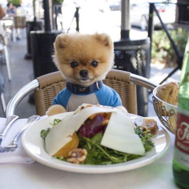 #интересное  Новая звезда Instagram умилительный пёс Джифф (11 фото)   Невероятно смешной и забавный померанский шпиц Джифф в роли гурмана выглядит презабавнейше. На снимках малыша сажают перед готовыми блюдами и Джифф радостно изучает тему. Или не очень радостно, ка