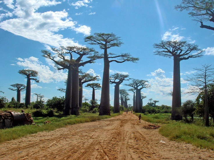 !Forests, Places To Visit, Baobab Trees, Nature Wonder, Beautiful Places, South Africa, Wonder Places, Madagascar, The Roots