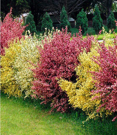 Ginster Hecke Tricolor3 Pflanzen Gartentyp Die
