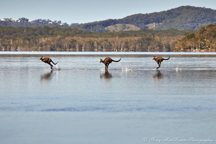 Kangaroos at Lake Weyba, Queensland, Australia.