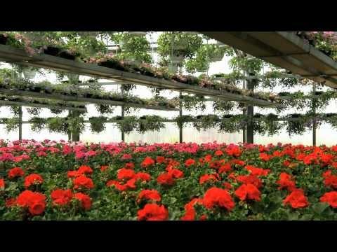 Taatusti kotimaista - Kasvihuoneyrittäjä Marko Kaijansinkko kasvattaa kesäkukkia ja hyötykasveja Mäkelässä -video