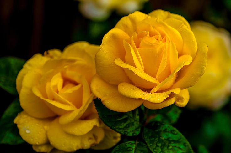 Yellow Twins. Roses Of Our Garden by Jenny Rainbow