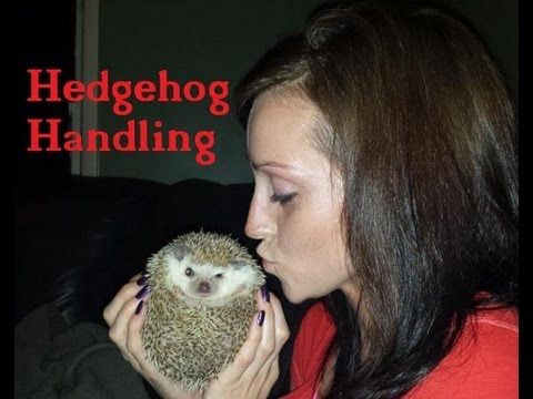How to handle African Pygmy Hedgehogs!