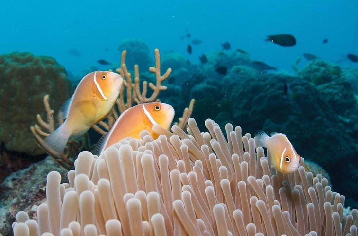 おはようございますついに金曜日だ今週がおわる#平日のカウントダウン#オーストラリア#ケアンズ#クイーンズランド州#グレートバリアリーフ#珊瑚#海#青#アウターリーフ#シュノーケリング#スキンダイビング#ダイビング#イソギンチャク#ハナビラクマノミ#australia#cairns#queensland#greatbarrierreef#ocean#sea#blue#underthesea#coral#outerreef#snorkeling#skindiving#diving#pinkanemonefish by underthesea_24 http://ift.tt/1UokkV2
